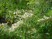 リョウブの花
