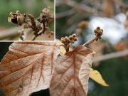 シナマンサクの花芽と果実