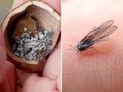 虫こぶの中の虫