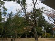 45 豊橋公園のアメリカキササゲ(ハナキササゲ)