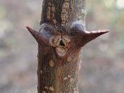 ハリエンジュの葉痕