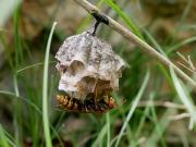 巣作り中のセグロアシナガバチ