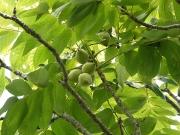クルミの果実