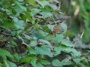 コバノガマズミ