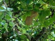 ミツバアケビの果実