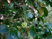 ビナンカズラの果実