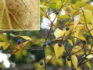 ムクノキの果実と紙やすりに使える葉
