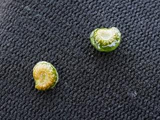 アオツヅラフジの種子