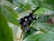 ミミズバイの果実
