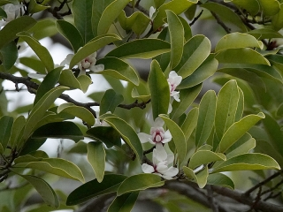 オガタマノキの花