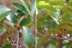 ヒサカキの雄花と雌花