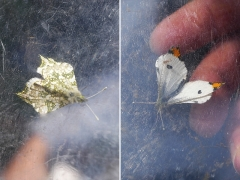 翅の模様が表裏で大きく違うツマキチョウ