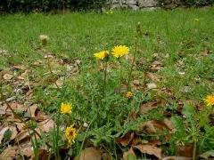 綿毛の位置が花より高くなるセイヨウタンポポ