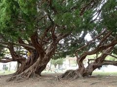 カイズカイブキの大木