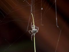 巣にかかった異物を取り除くオニグモ