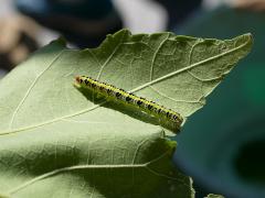 フタトガリコヤガの幼虫