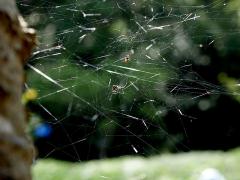 不規則な網を張るヒメグモの仲間