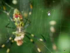 ジョロウグモの巣に居候するシロカネイソウロウグモ