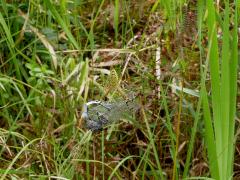 シオカラトンボを捕獲したナガコガネグモ