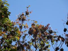ヤマハゼの紅葉と果実