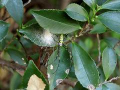 ジョロウグモの卵嚢