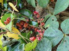 タンキリマメの果実