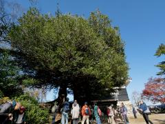 豊橋巨木100選のイスノキ