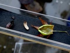 ウスタビガの繭内の幼虫と蛹の抜け殻
