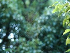 ジョロウグモの巣