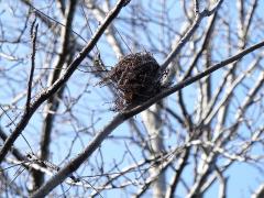 ヒヨドリ(?)の巣