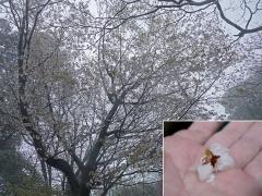 盗蜜されたヤマザクラの花