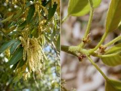 アラカシの雄花と雌花