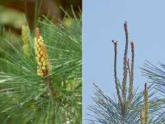 アカマツの雄花と雌花