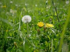 綿毛の高さが花と同じくらいのトウカイタンポポ